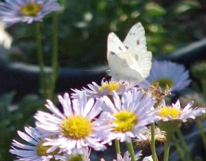 common_white_butterfly_on_sea_side_daisy.jpg
